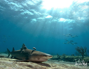 A little nap time at Tiger Beach - This Lemon Shark takes... by Steven Anderson 